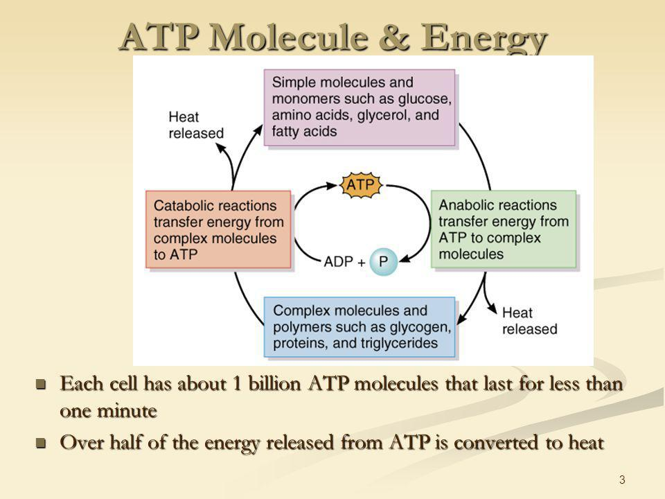 Chapter 25 Metabolism Functions of food source of energy - ppt ...