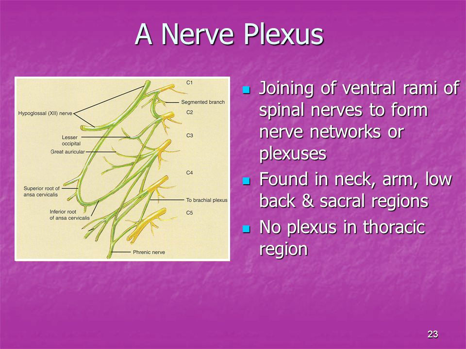 A Nerve Plexus Joining of ventral rami of spinal nerves to form nerve networks or plexuses. Found in neck, arm, low back & sacral regions.