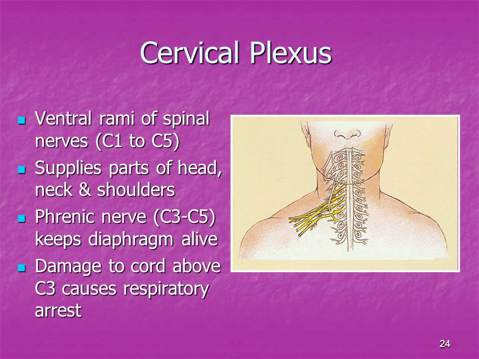 Cervical Plexus Ventral rami of spinal nerves (C1 to C5)