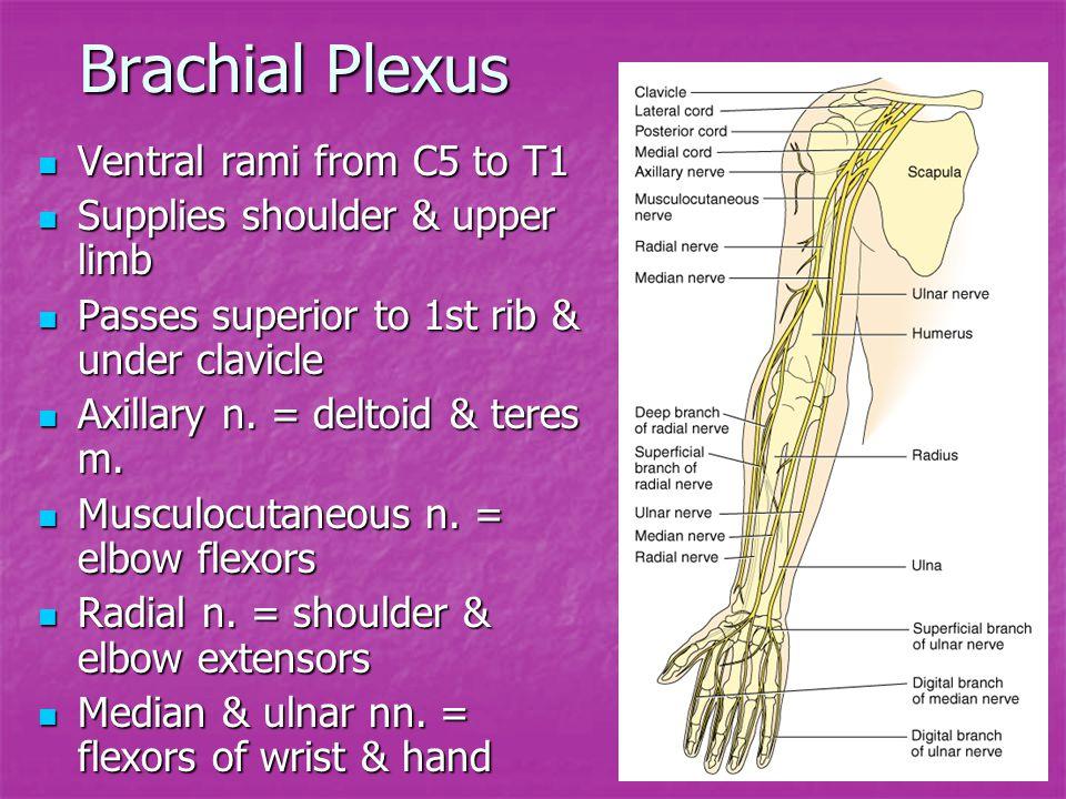 Brachial Plexus Ventral rami from C5 to T1