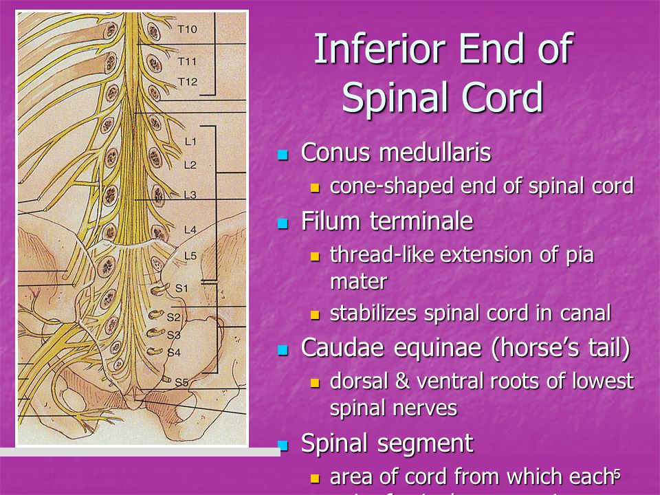 Inferior End of Spinal Cord