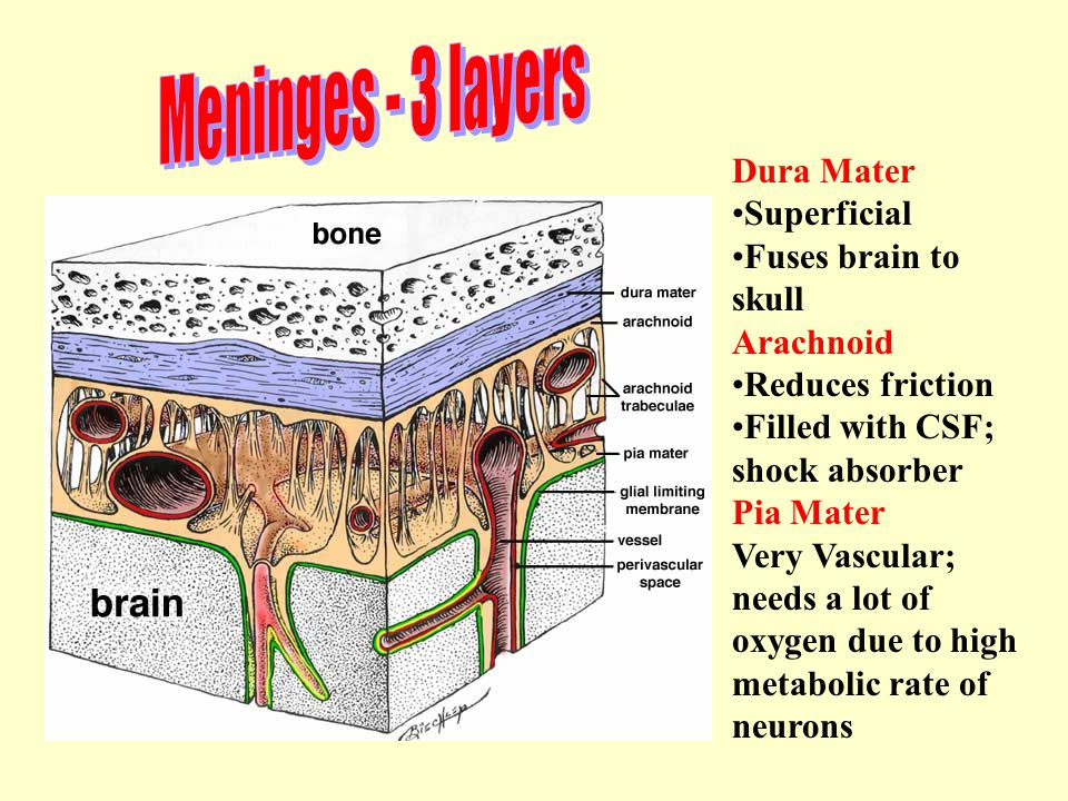 Meninges - 3 layers Dura Mater Superficial Fuses brain to skull