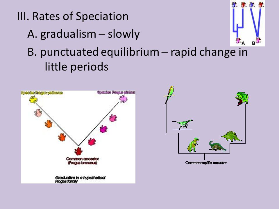 III. Rates of Speciation A. gradualism – slowly B
