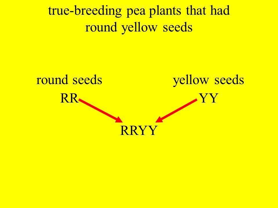 true-breeding pea plants that had