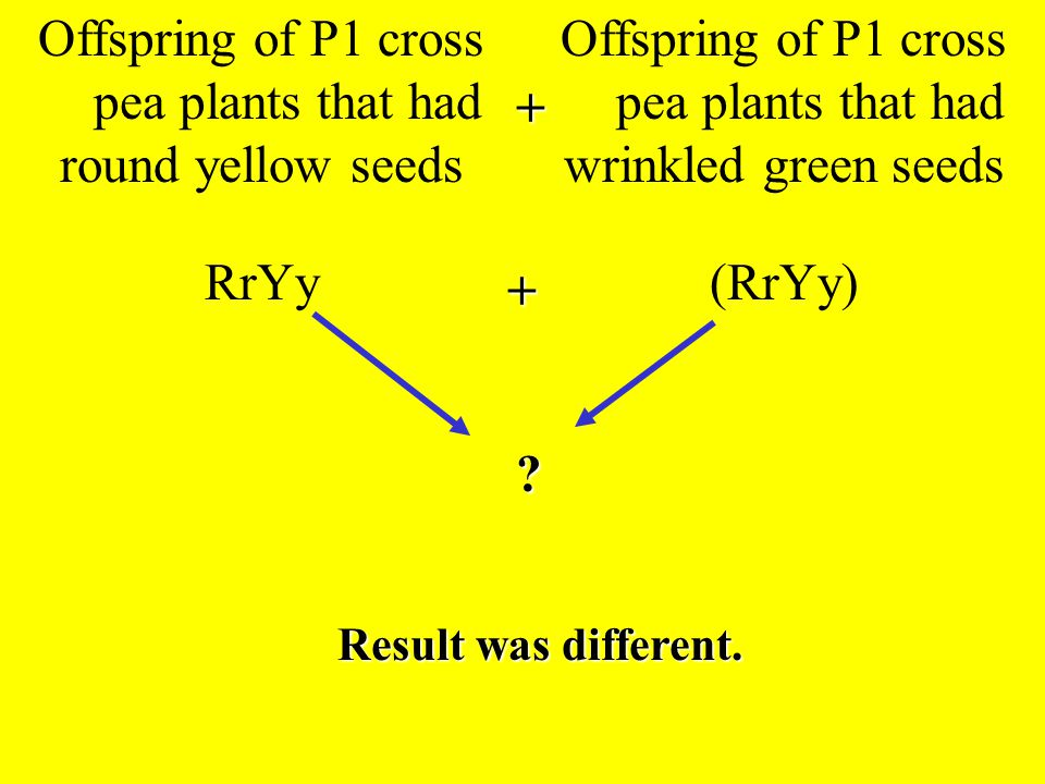 Offspring of P1 cross pea plants that had round yellow seeds