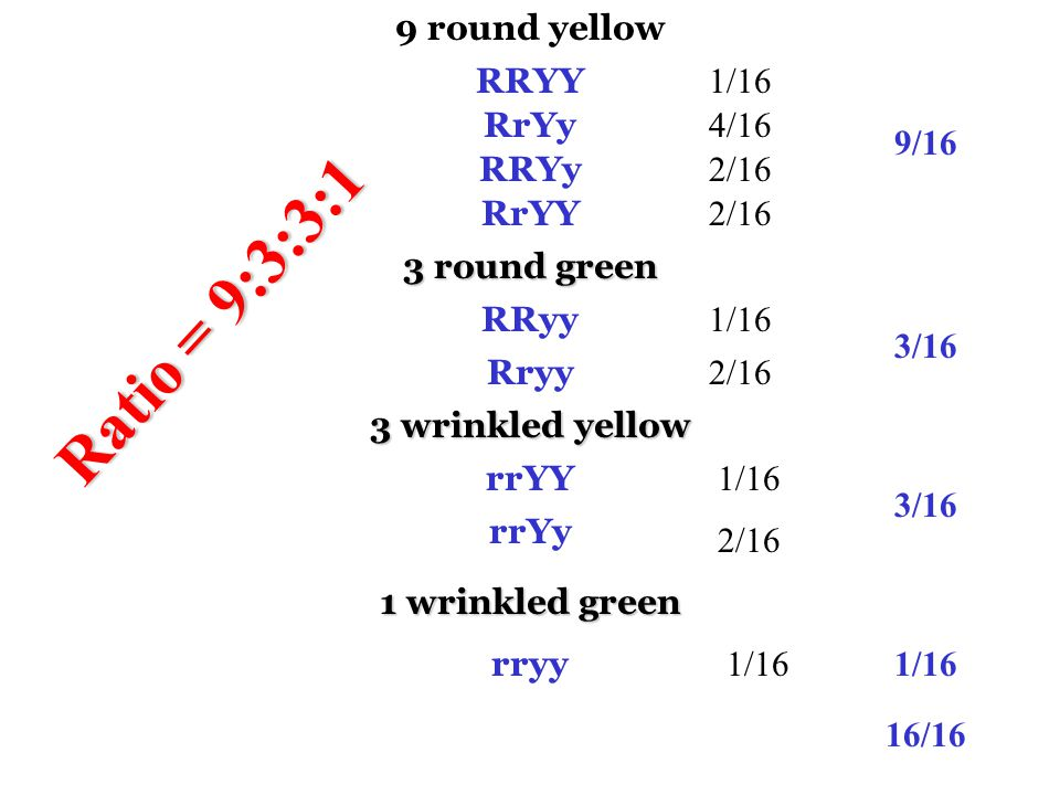 Ratio = 9:3:3:1 9 round yellow RRYY 1/16 RrYy 4/16 9/16 RRYy 2/16 RrYY
