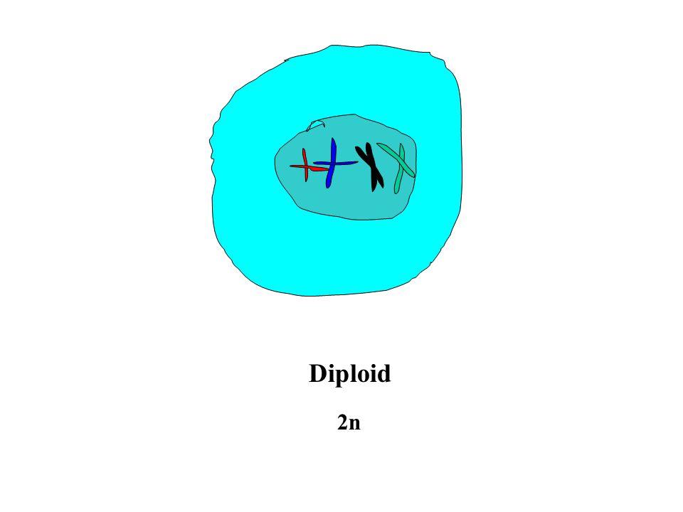 Diploid 2n