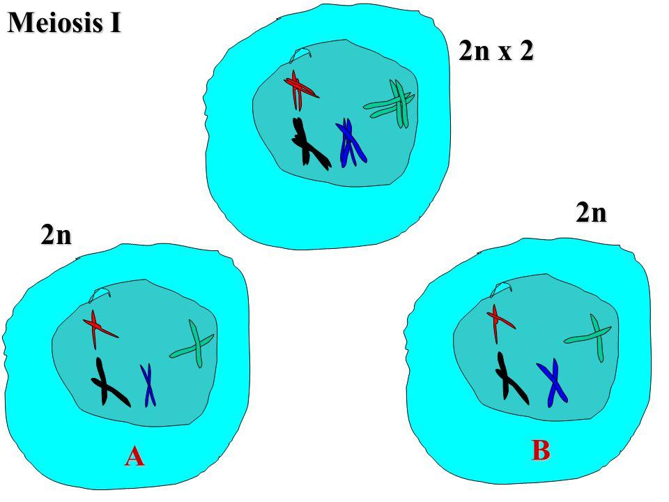 Meiosis I 2n x 2 2n 2n B A