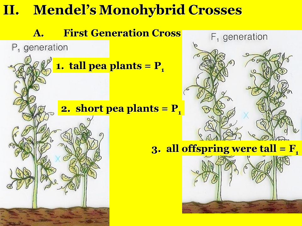 II. Mendel's Monohybrid Crosses
