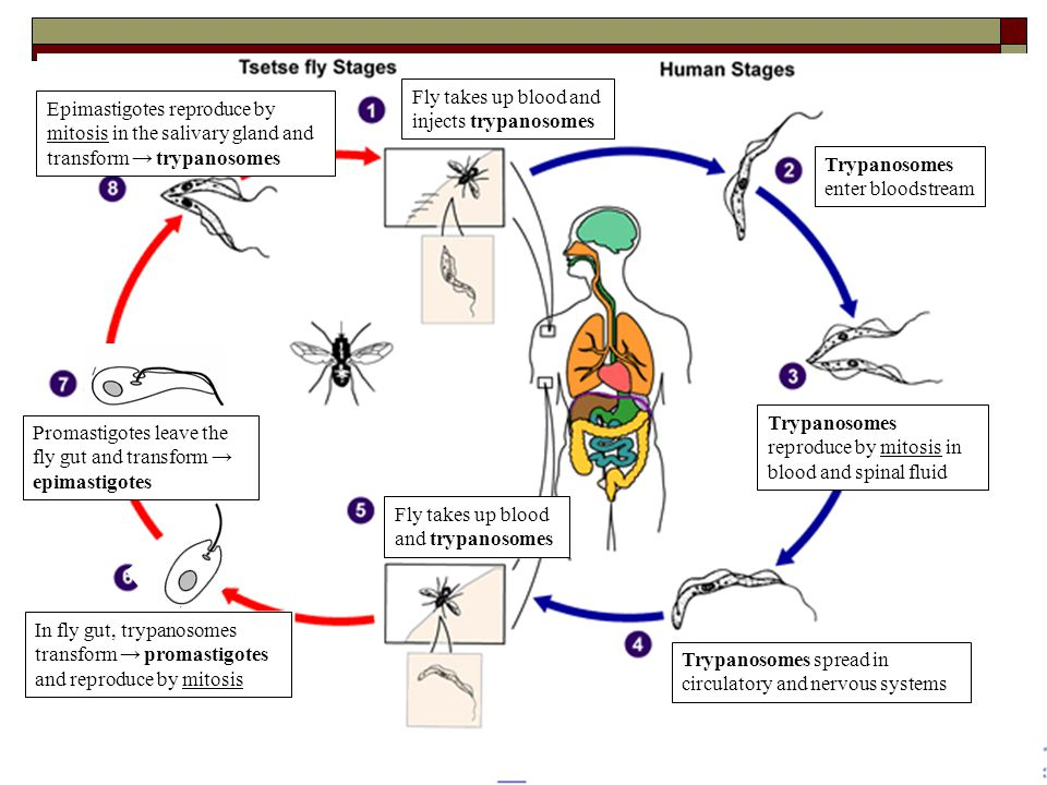 Fly takes up blood and injects trypanosomes