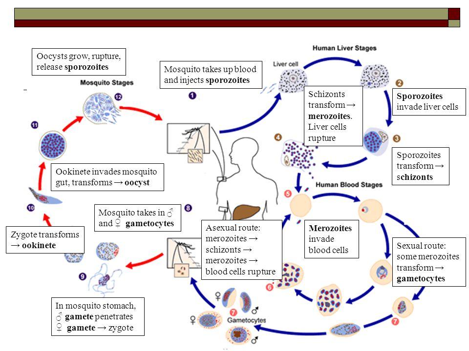 Oocysts grow, rupture, release sporozoites