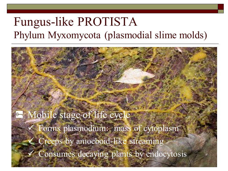 Fungus-like PROTISTA Phylum Myxomycota (plasmodial slime molds)