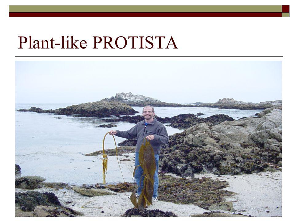 Plant-like PROTISTA Autotrophic: obtain food like plants