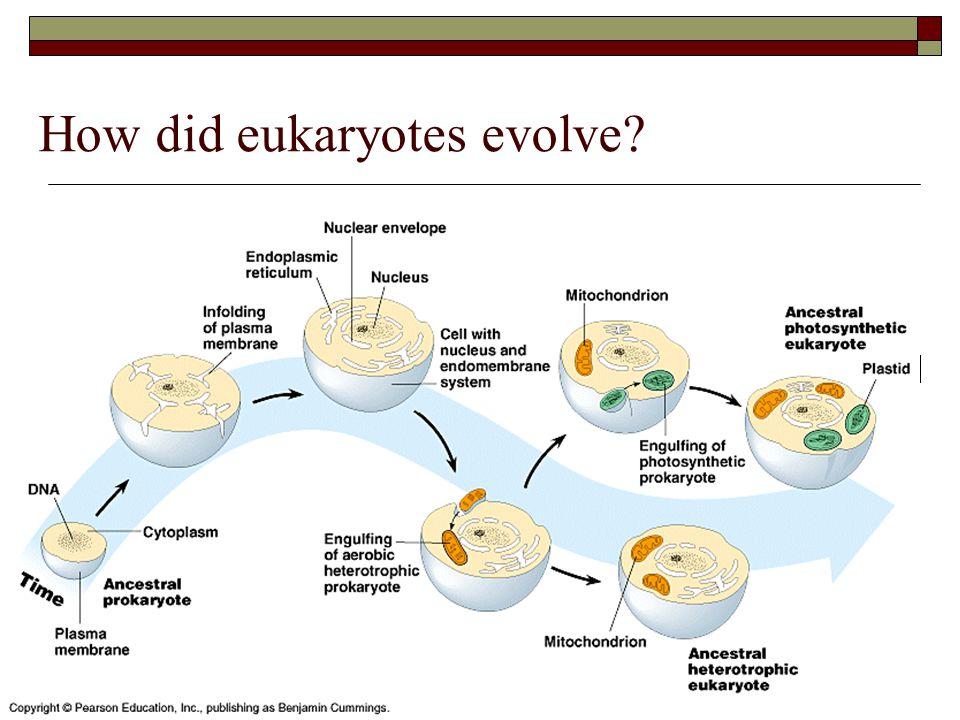 How did eukaryotes evolve