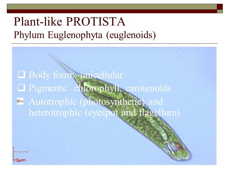 Plant-like PROTISTA Phylum Euglenophyta (euglenoids)