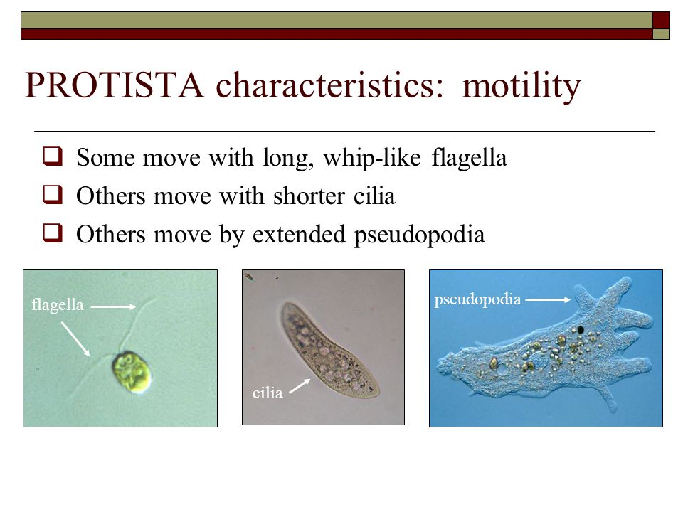 PROTISTA characteristics: motility