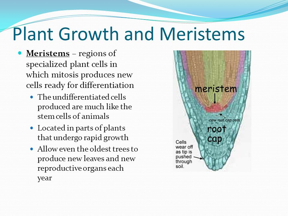 Plant Growth and Meristems