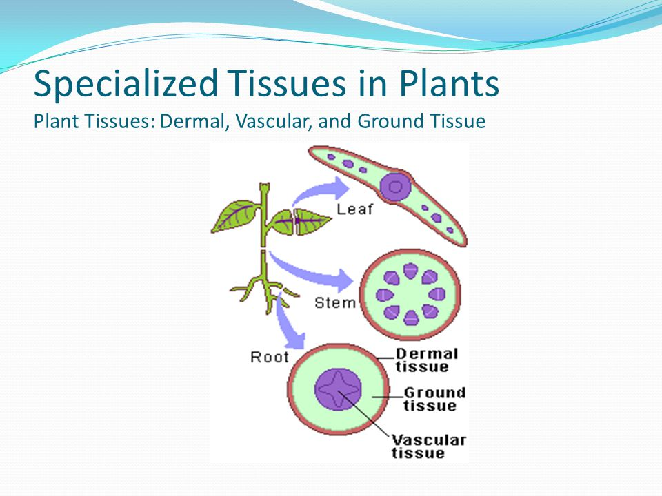 Specialized Tissues in Plants Plant Tissues: Dermal, Vascular, and Ground Tissue