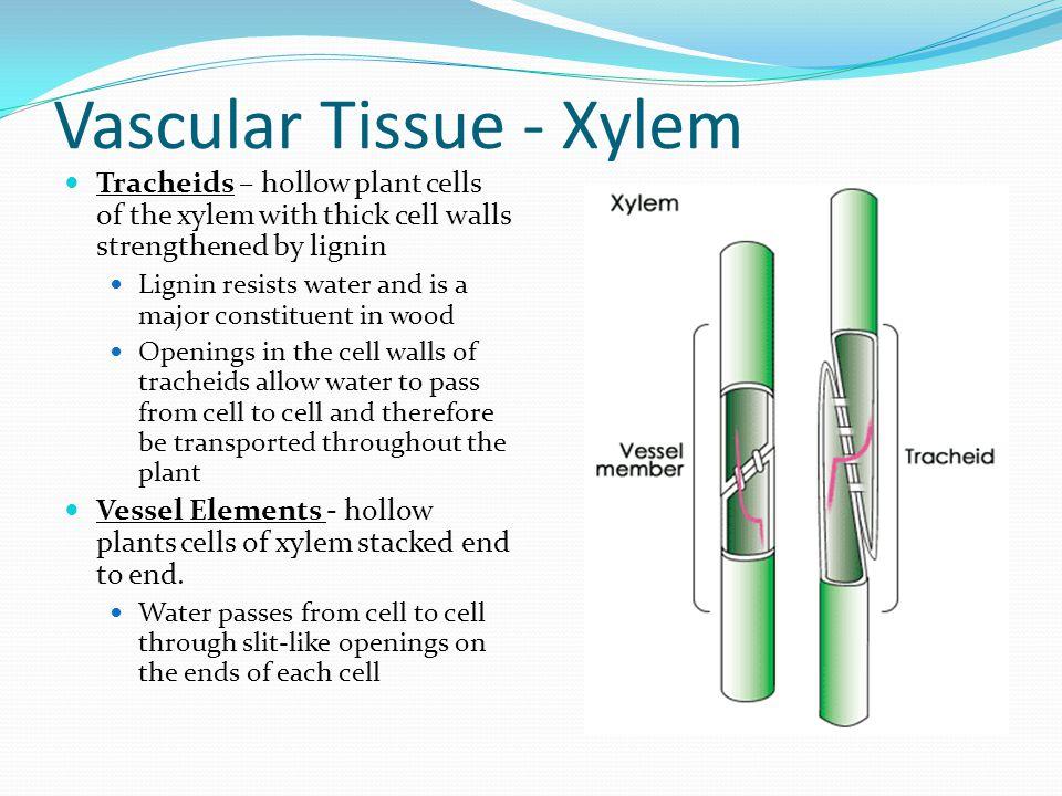 Vascular Tissue - Xylem