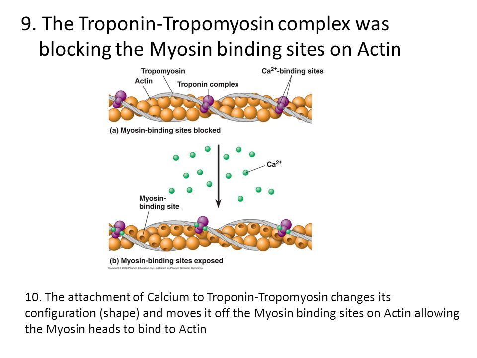9. The Troponin-Tropomyosin complex was blocking the Myosin binding sites on Actin