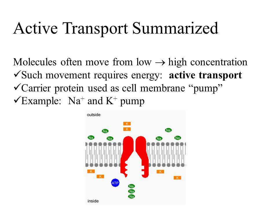 Active Transport Summarized