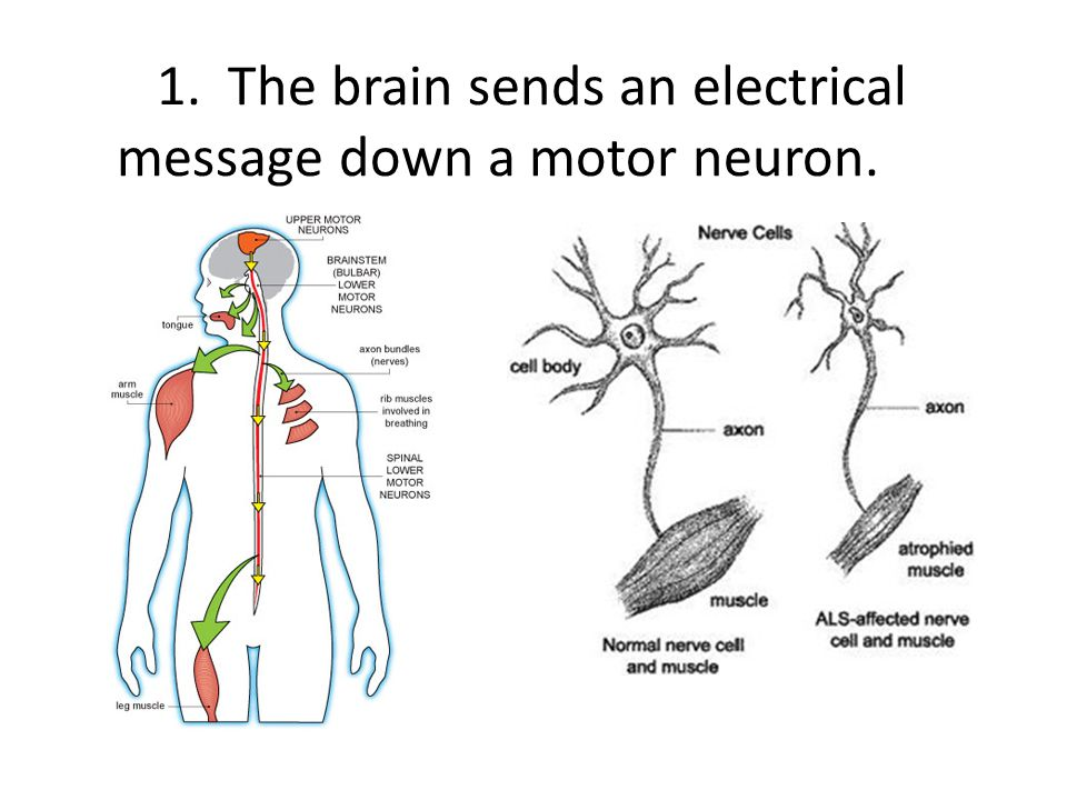 1. The brain sends an electrical message down a motor neuron.