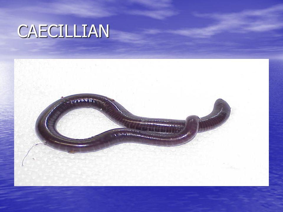 CAECILLIAN