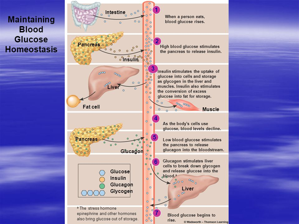 Maintaining Blood Glucose Homeostasis