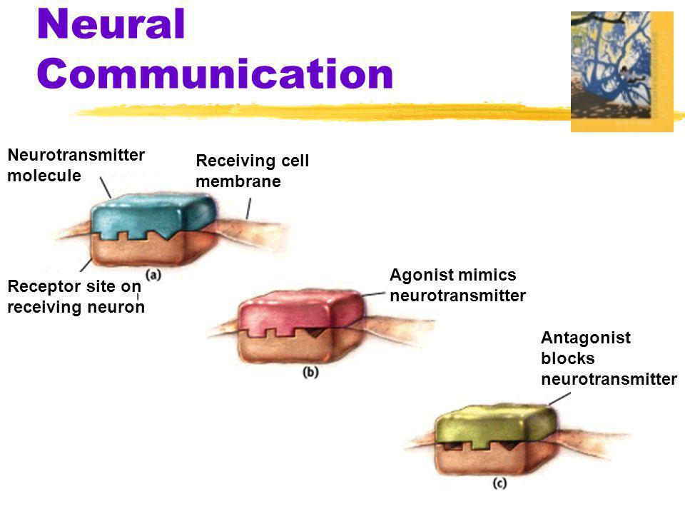 Neural Communication Neurotransmitter Receiving cell molecule membrane