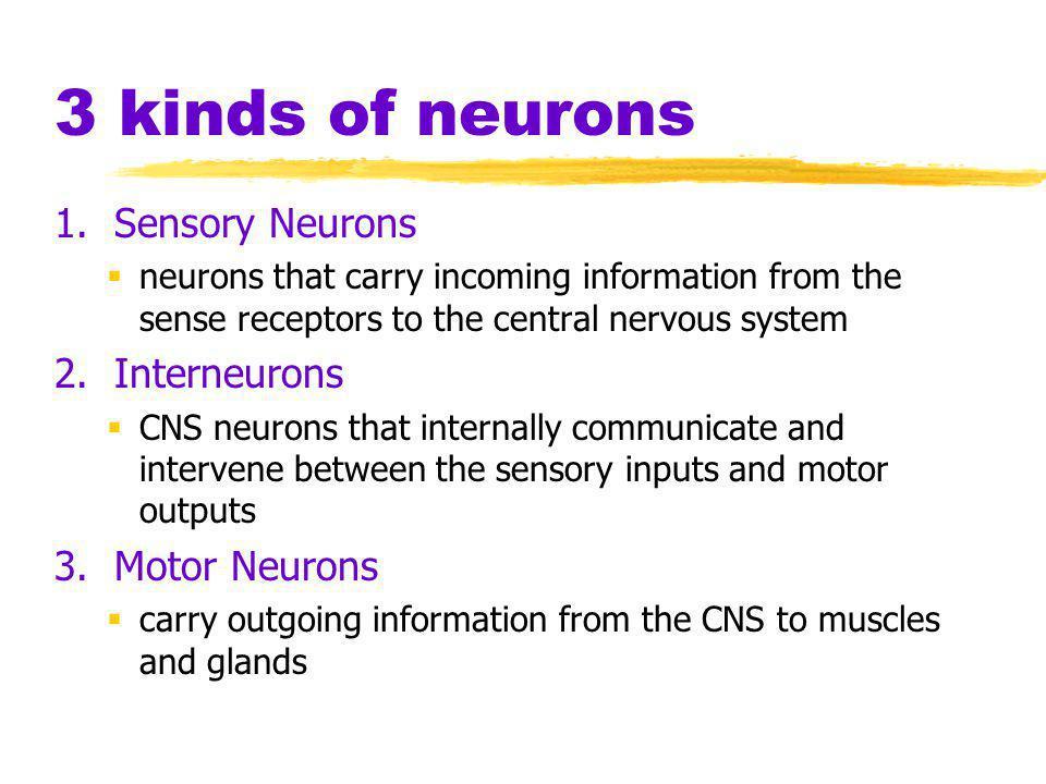 3 kinds of neurons 1. Sensory Neurons 2. Interneurons 3. Motor Neurons