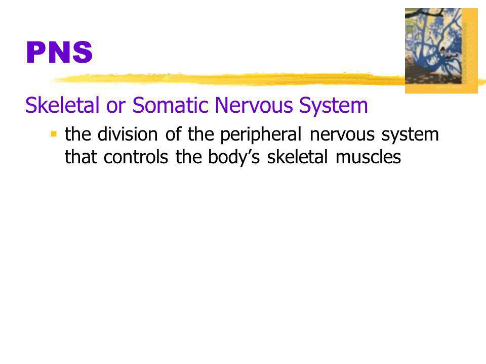 PNS Skeletal or Somatic Nervous System