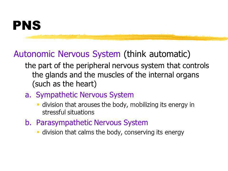 PNS Autonomic Nervous System (think automatic)