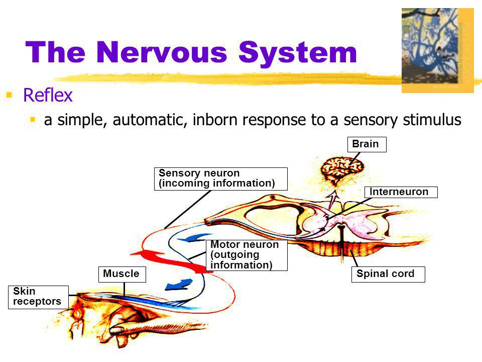 The Nervous System Reflex