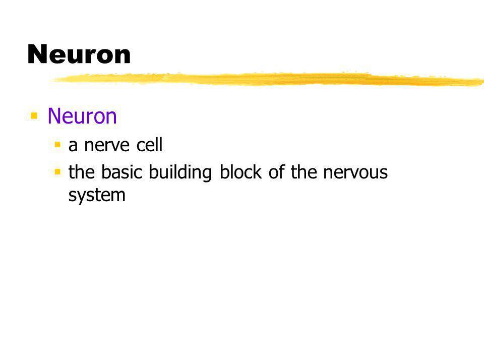 Neuron Neuron a nerve cell