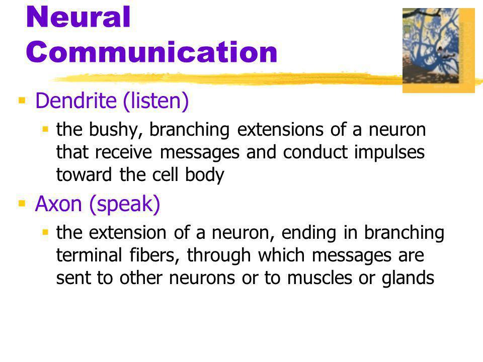 Neural Communication Dendrite (listen) Axon (speak)