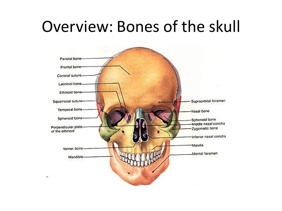 Overview: Bones of the skull