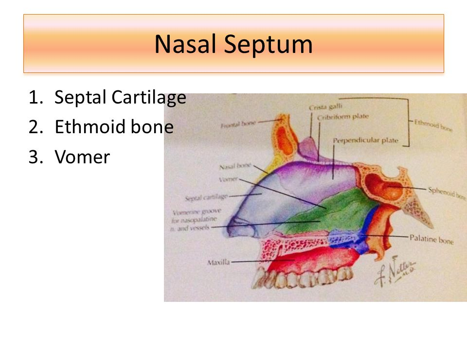 Nasal Septum Septal Cartilage Ethmoid bone Vomer