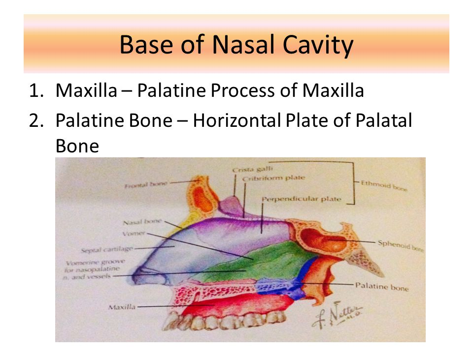 Base of Nasal Cavity Maxilla – Palatine Process of Maxilla