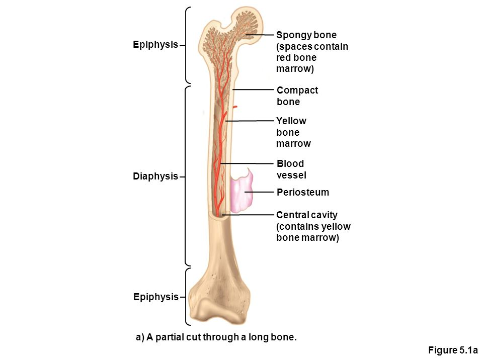 Spongy bone (spaces contain. red bone. marrow) Epiphysis. Compact bone. Yellow. bone. marrow.