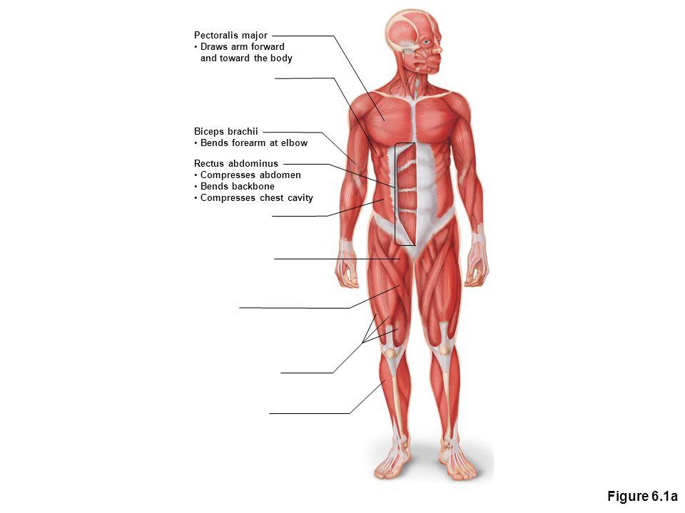 Figure 6.1a Pectoralis major Draws arm forward and toward the body