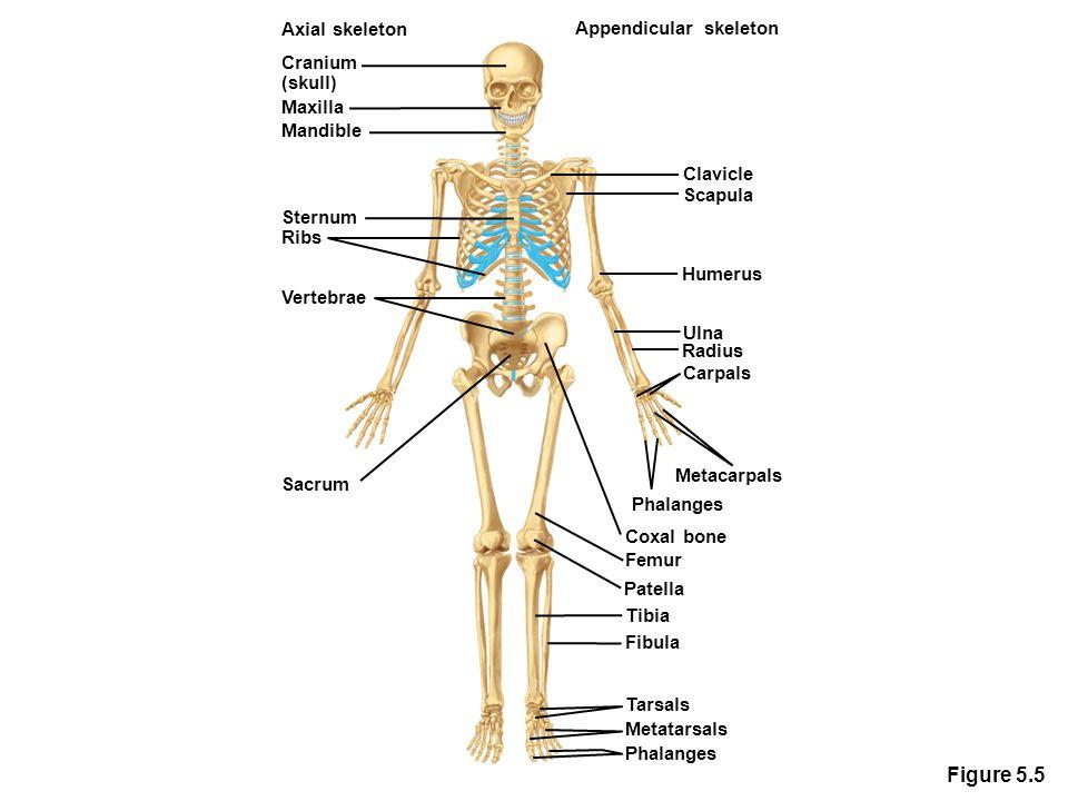 Figure 5.5 Axial skeleton Appendicular skeleton Cranium (skull)