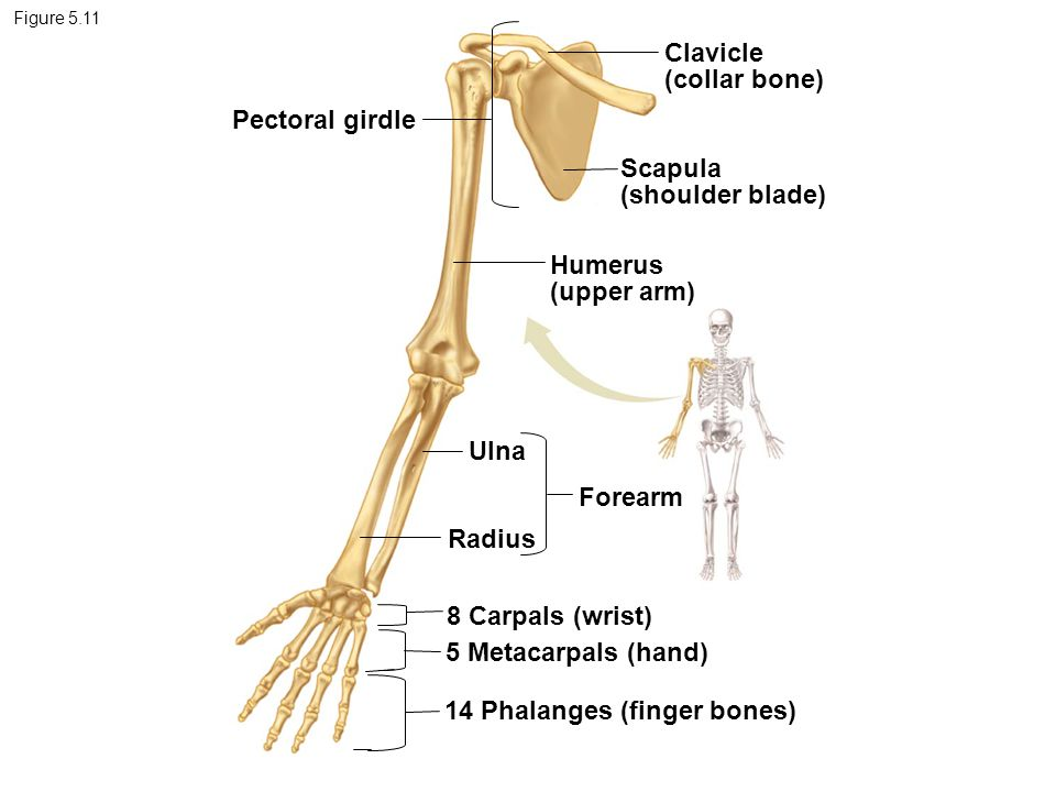 14 Phalanges (finger bones)