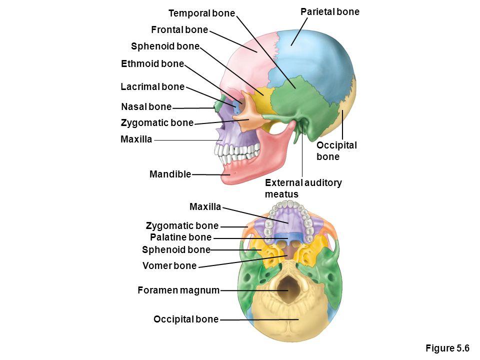 Temporal bone Parietal bone. Frontal bone. Sphenoid bone. Ethmoid bone. Lacrimal bone. Nasal bone.