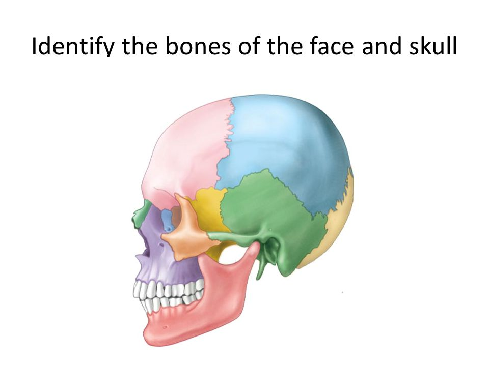 Identify the bones of the face and skull