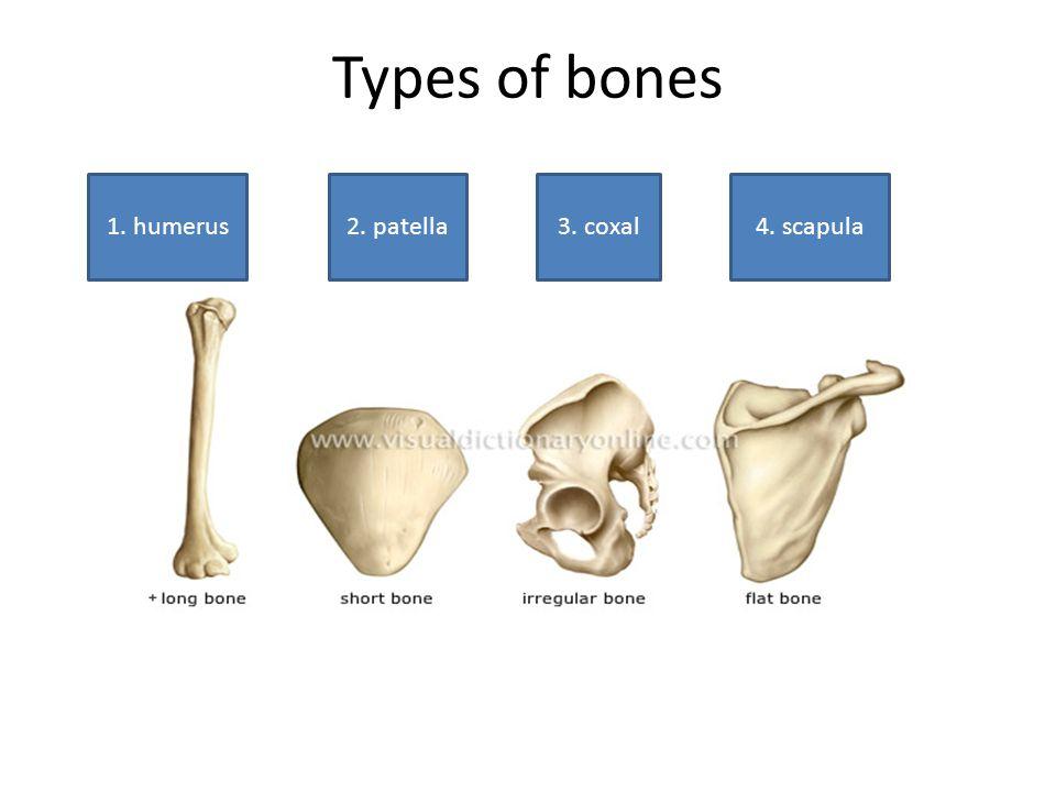 Types of bones 1. humerus 2. patella 3. coxal 4. scapula