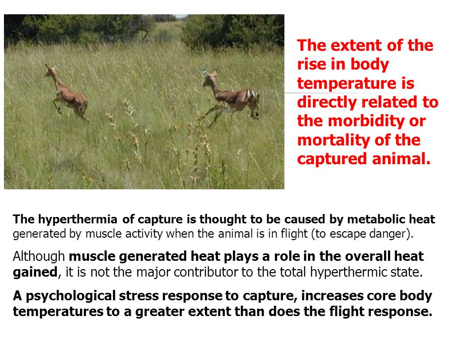 The extent of the rise in body temperature is directly related to the morbidity or mortality of the captured animal.