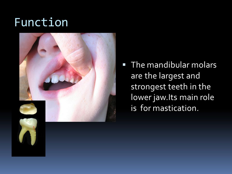 Function The mandibular molars are the largest and strongest teeth in the lower jaw.Its main role is for mastication.