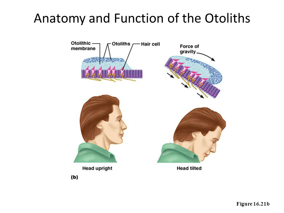 Anatomy and Function of the Otoliths