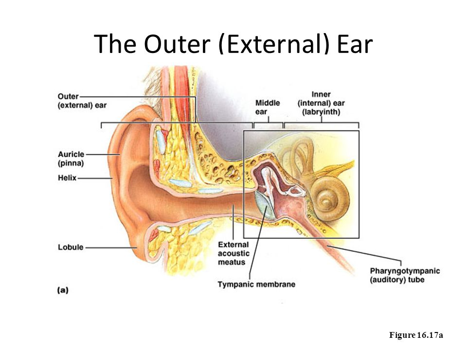 Describe the anatomy and function of the human ear