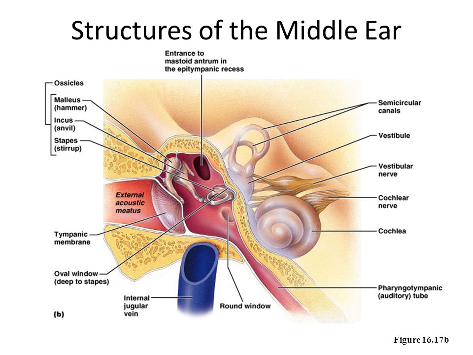 Structures of the Middle Ear